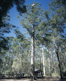 Diamond Tree Lookout Manjimup - Accommodation Great Ocean Road