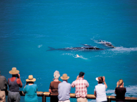 Whale Watching At Head Of Bight - Accommodation Great Ocean Road