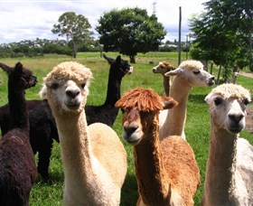 Banyandah Alpacas - Accommodation Great Ocean Road