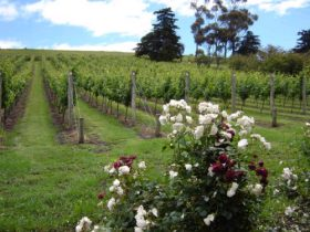 Pembroke Estate Vineyard - Accommodation Great Ocean Road
