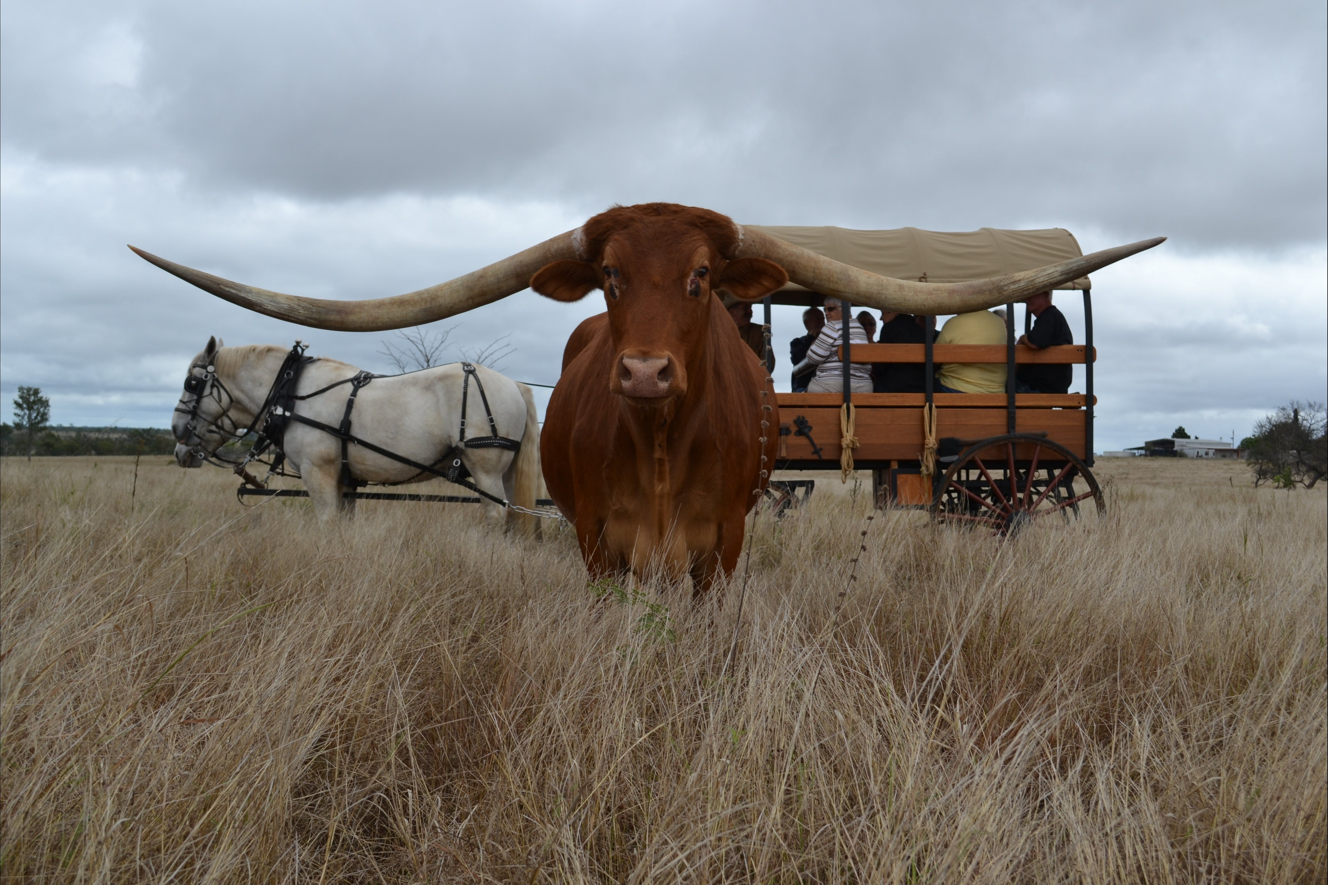 Texas Longhorn Tours - Accommodation Great Ocean Road
