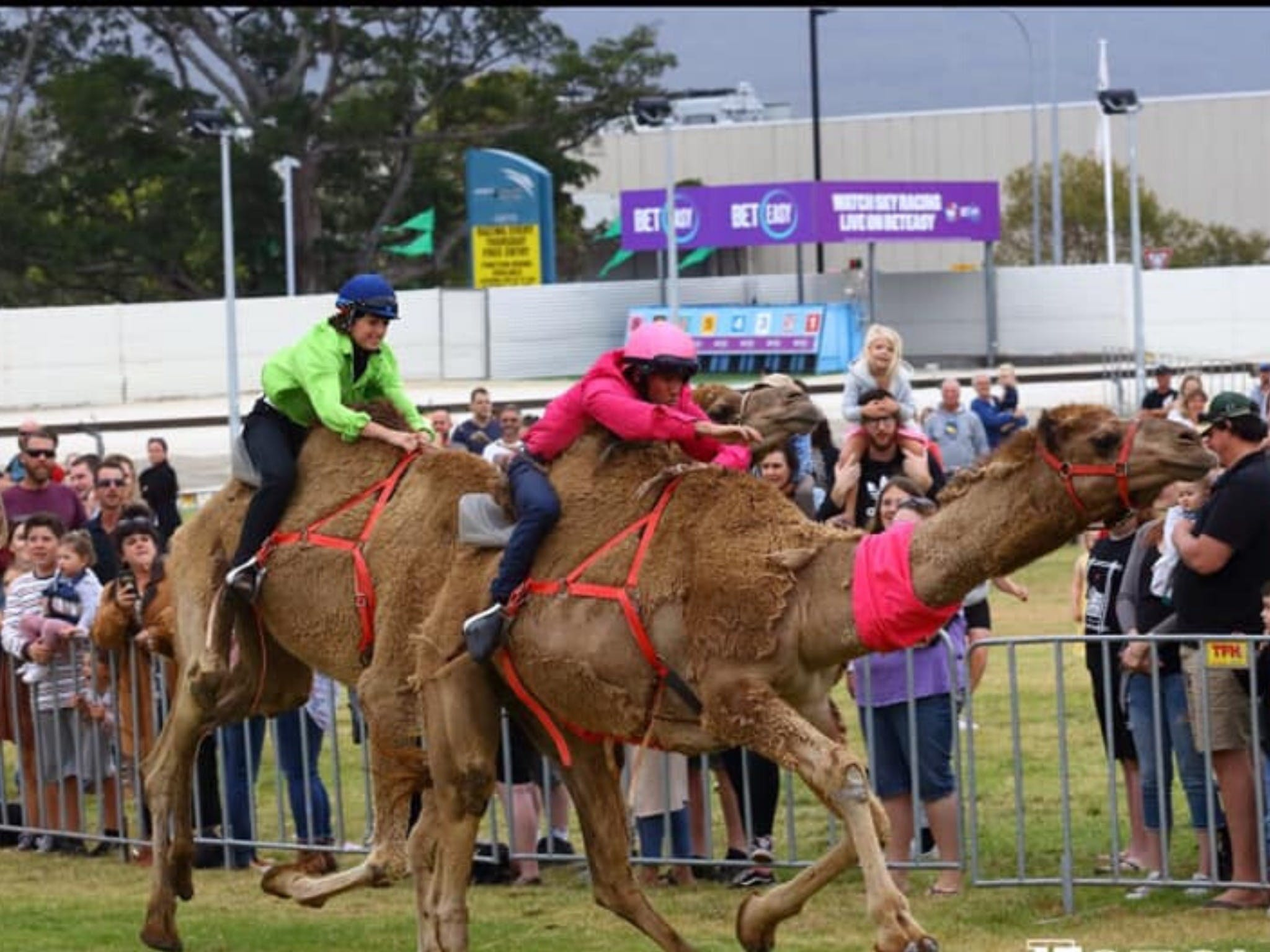 Camel Races at Gosford Showgrounds - Accommodation Great Ocean Road